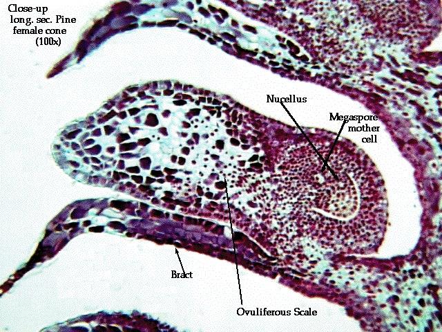 pinus female cone diagram
