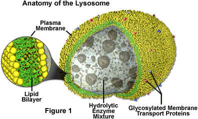 untitled document : lysosome diagram - findchart.co